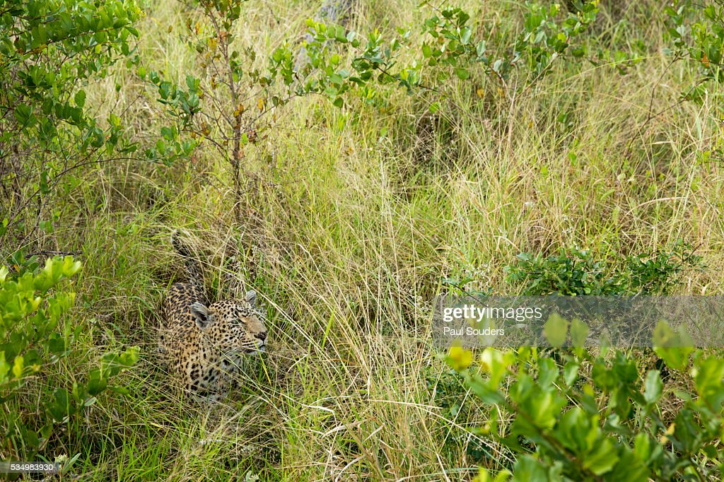 Leopard Hidden In Grass Sabi Sands Reserve South Africa Stock Photo