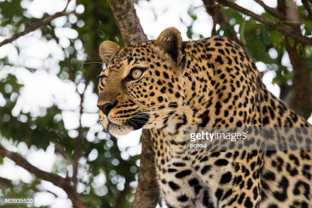 Leopard, hunting animal