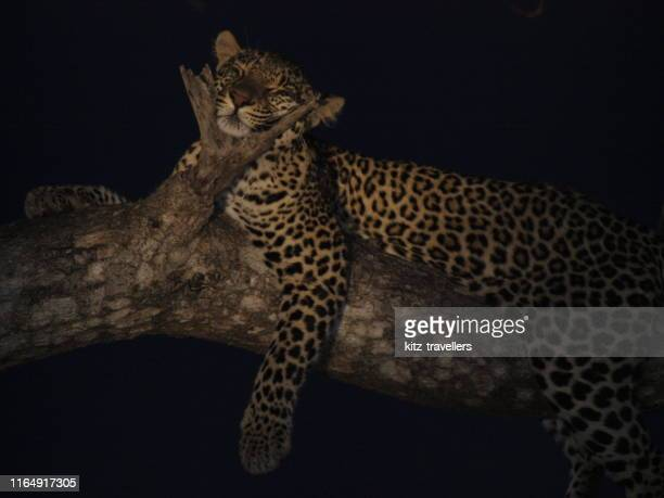 leopard hunting by night, thornybush reserve, south africa - mpumalanga province stock pictures, royalty-free photos & images