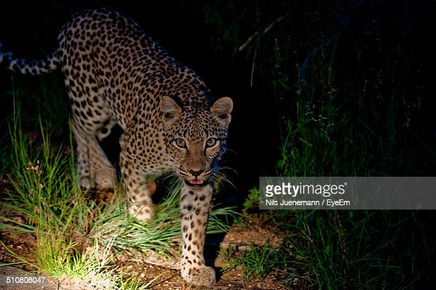 leopard illuminated with flashlight at night - night safari stock pictures, royalty-free photos & images