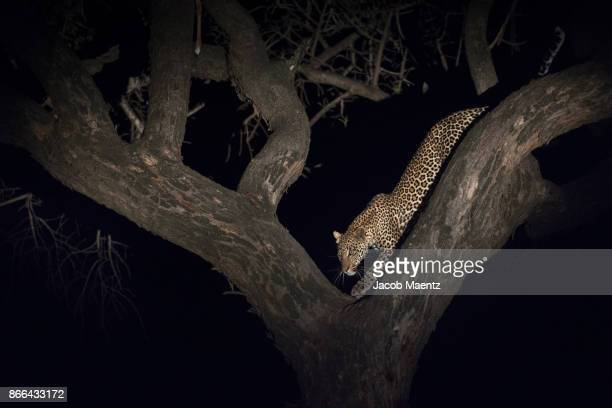 a leopard in a tree during a night safari, serengeti national park. - dark panthera stock pictures, royalty-free photos & images