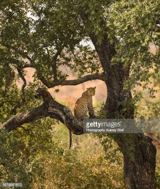 leopard in a tree - kruger national park stock pictures, royalty-free photos & images