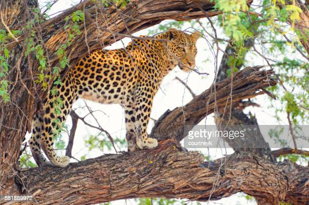 leopard in a tree. - okavango delta stock photos and pictures