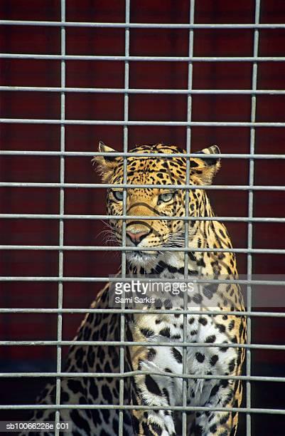 leopard in cage - animales en cautiverio fotografías e imágenes de stock