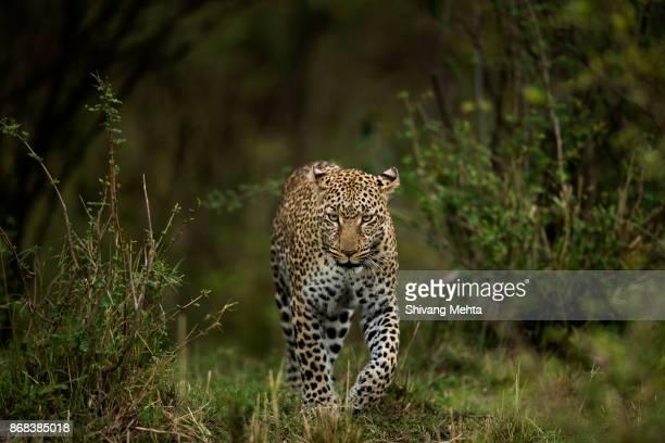 A leopard in Masai Mara