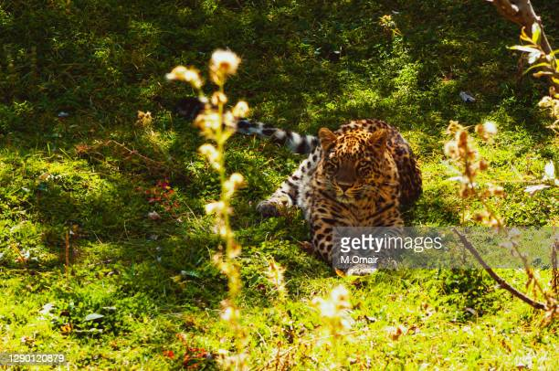 leopard in nathia gali lalazar park - pakistan stock pictures, royalty-free photos & images