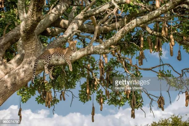 """leopard in """"sausage tree"""" - säugetier stock-fotos und bilder"""