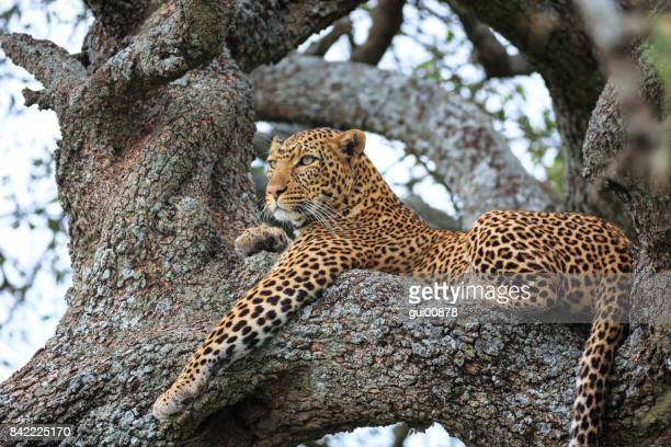 leopard in serengeti national park - leopard stock pictures, royalty-free photos & images
