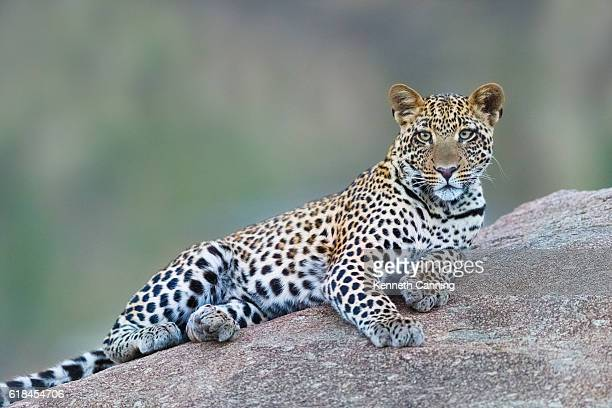 leopard in serengeti national park, tanzania africa - leopard stock pictures, royalty-free photos & images