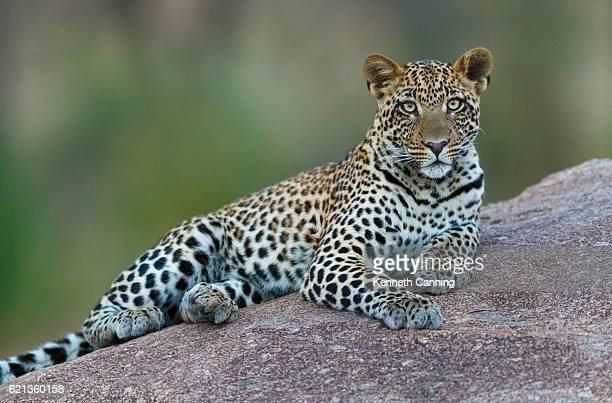 leopard in serengeti national park, tanzania africa - leopard photos et images de collection
