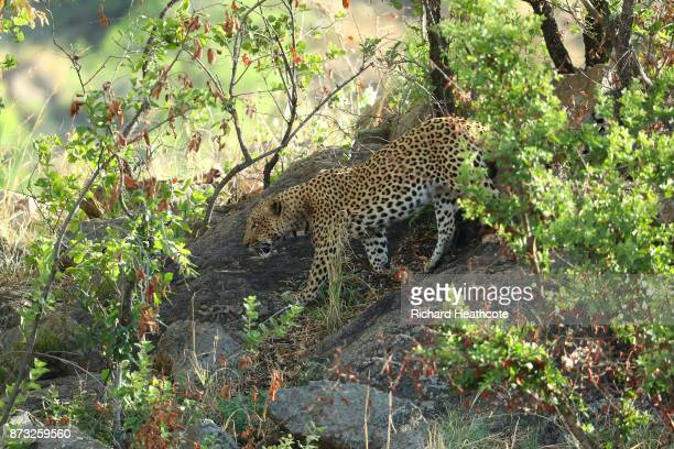 Leopard in the Pilanesberg National Park before the third round of the Nedbank Golf Challenge at Gary Player CC on November 11 2017 in Sun City South...