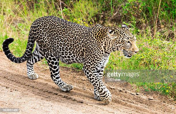 Leopard in the savannah - walking and watching