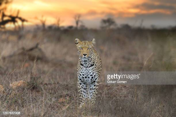 leopard in the wilderness of africa - leopard stock pictures, royalty-free photos & images