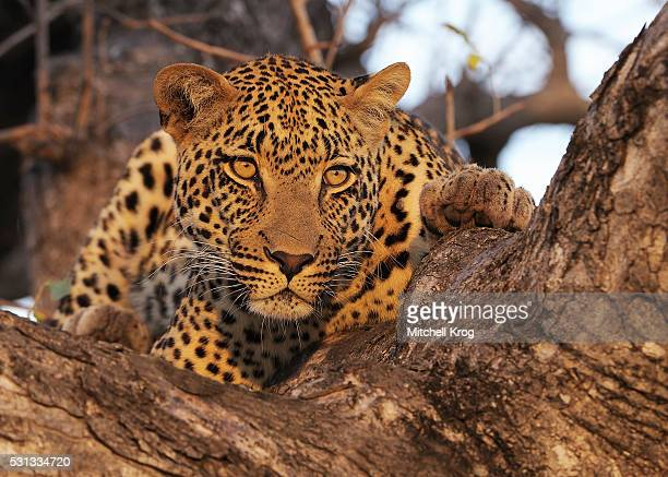 Leopard in Tree at Sunset in Kruger National Park, South Africa