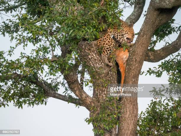 Leopard in Tree with Prey-HDR