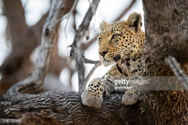 leopard in wildlife, okavango delta, botswana, africa - parco nazionale foto e immagini stock