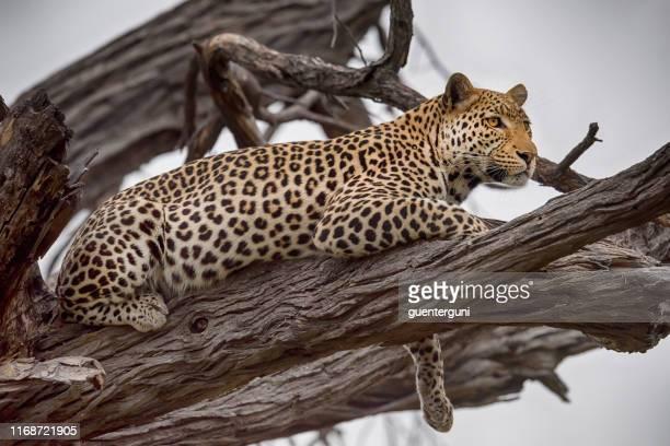 leopard in wildlife, okavango delta, botswana, africa - zimbabwe stock pictures, royalty-free photos & images