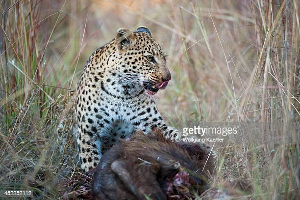 A leopard is feeding on a Cape buffalo calf near the Vumbura Plains in the Okavango Delta in northern part of Botswana
