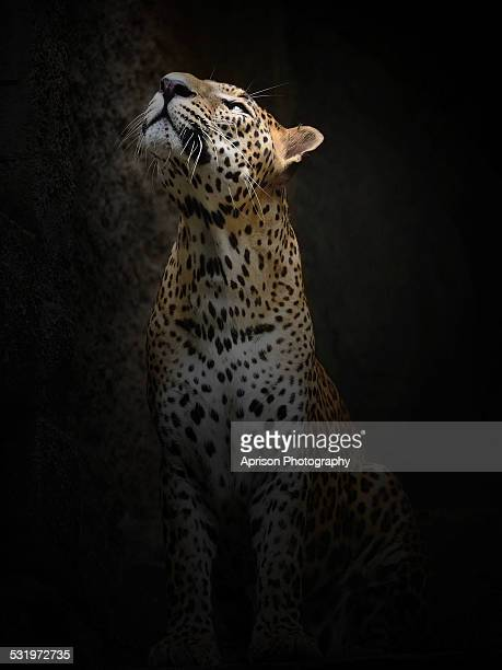 leopard is looking up to the light source - leopard photos et images de collection