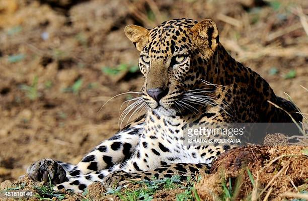 Leopard is pictured at the Yala National Park in the southern district of Yala some 250km southwest of Colombo on July 24, 2015. Yala National Park...