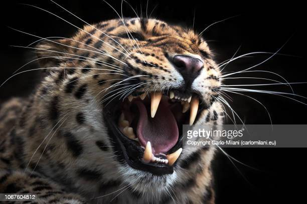 leopard jaws - animals attacking stock pictures, royalty-free photos & images