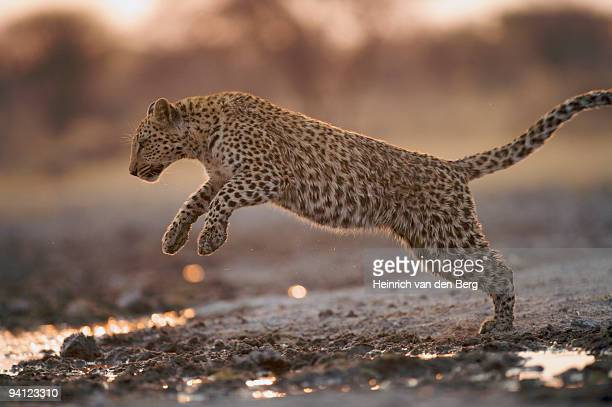 Leopard (Panthera pardus) jumping over water puddles,  Namibia.