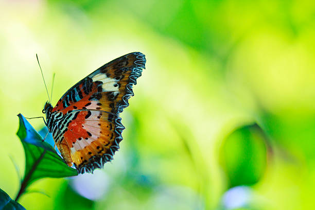 Leopard Lacewing Butterfly on green