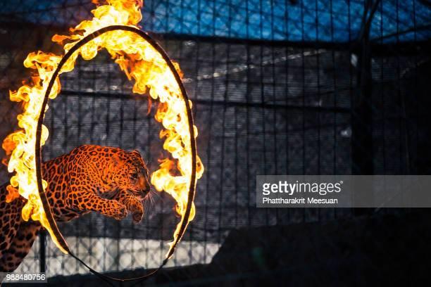 a leopard leaps through a ring of fire. - einzelnes tier stock-fotos und bilder