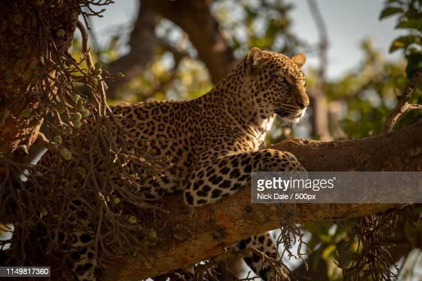 leopard lies on branch of fig tree - dalsland - fotografias e filmes do acervo