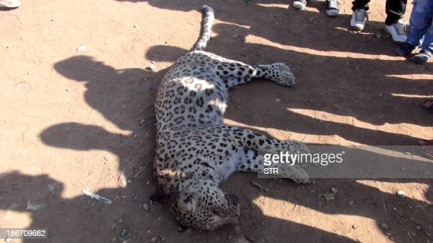 A leopard lies on the ground after being killed by Kurdish villagers on November 3 at Cinar in Diyarbakir AFP PHOTO/STR