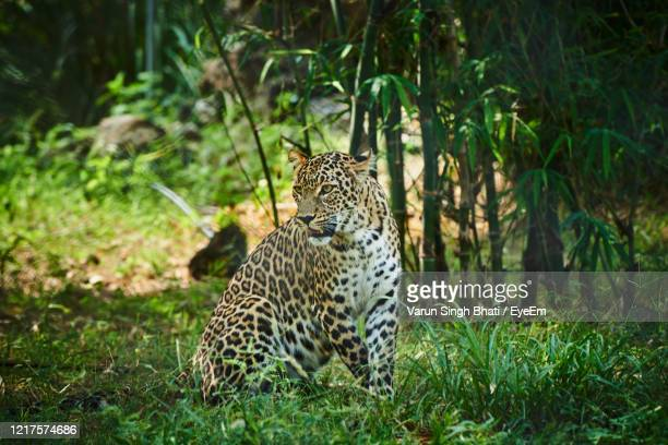 leopard looking away on land - leopard stock pictures, royalty-free photos & images