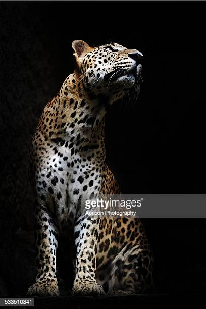 leopard looking up - leopard photos et images de collection