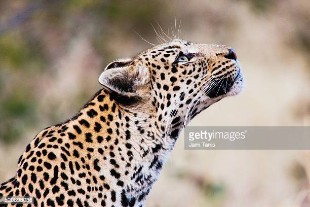 A leopard looking up, side view