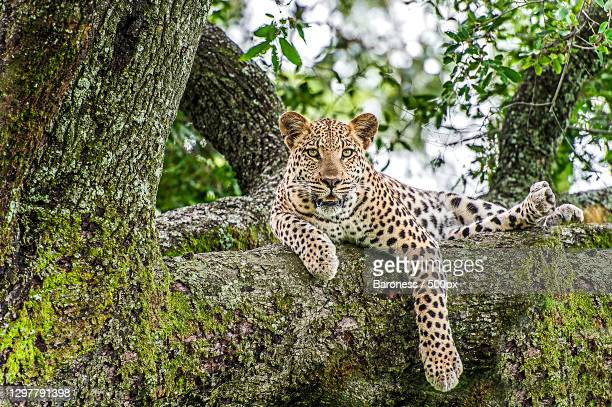 leopard lying in a tree,botswana - animals in the wild stock pictures, royalty-free photos & images