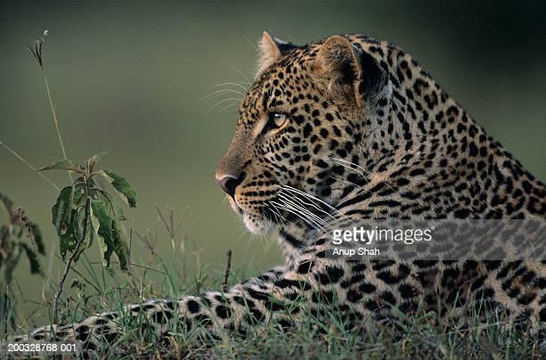 Leopard (Panthera pardus) lying in grass, Kenya