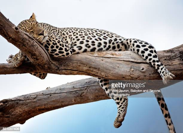 leopard lying in tree against blue sky in samburu, kenya - leopard photos et images de collection