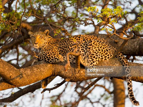 Leopard lying in tree, Panthera pardus, Madikwe Game Reserve, South Africa.