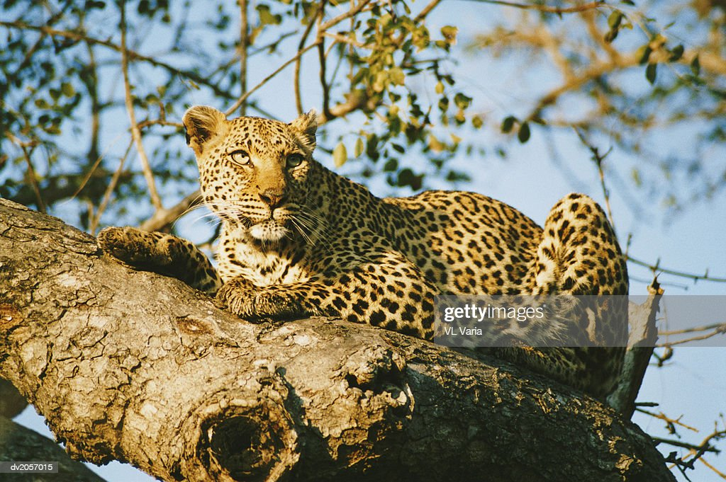 Leopard Lying on a Branch : Stock Photo