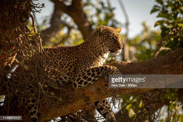 leopard lying on branch of fig tree - dalsland stock photos and pictures