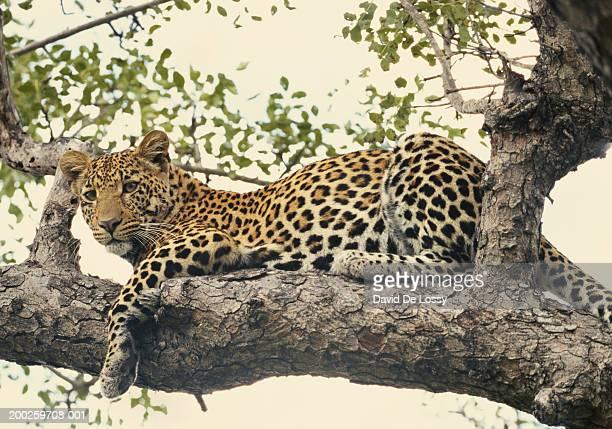 leopard (panthera pardus) lying on branch of tree, side view - leopardo foto e immagini stock