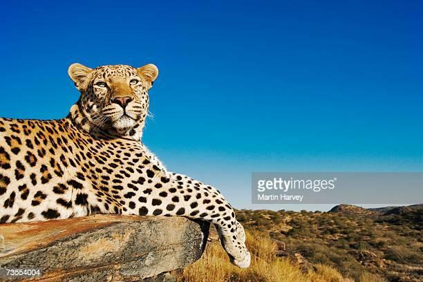 Leopard (Panthera pardus) Lying on Rock