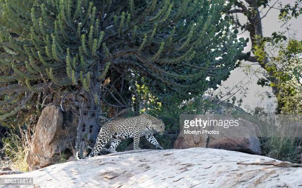 Leopard Mom Seeking Cubs