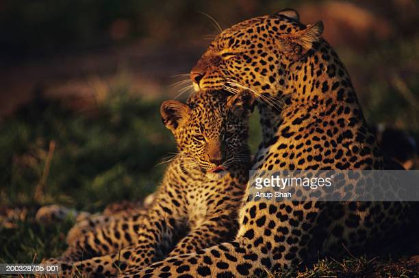 Leopard mother and cub (Panthera pardus), resting in grass, Kenya