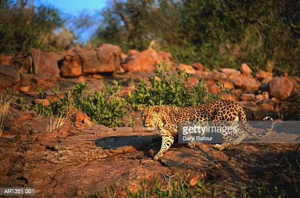 Leopard (Panthera pardus), Namibia