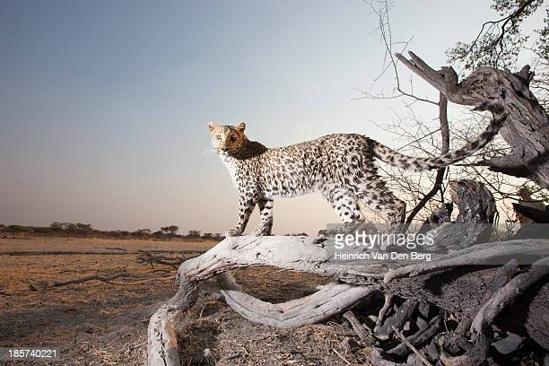 a leopard near a waterhole with its paw on a turtle shell. - ugly cat stock photos and pictures