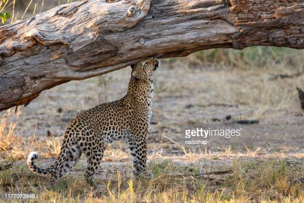leopard. okavango delta, botswana, africa - territory stock pictures, royalty-free photos & images