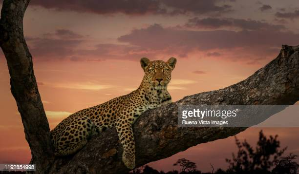 leopard on a branch at sunset - big cat stock pictures, royalty-free photos & images