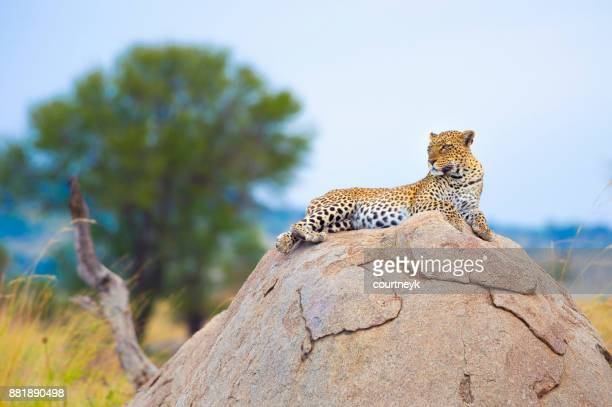 leopard on a rock. - leopard stock pictures, royalty-free photos & images