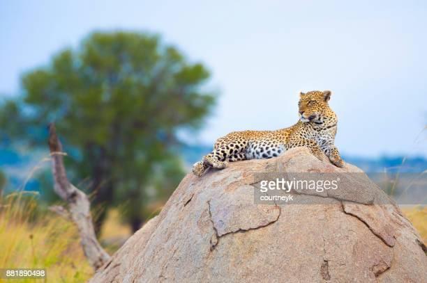 Leopard on a rock.