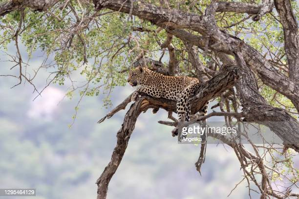 leopard on a tree - south africa stock pictures, royalty-free photos & images